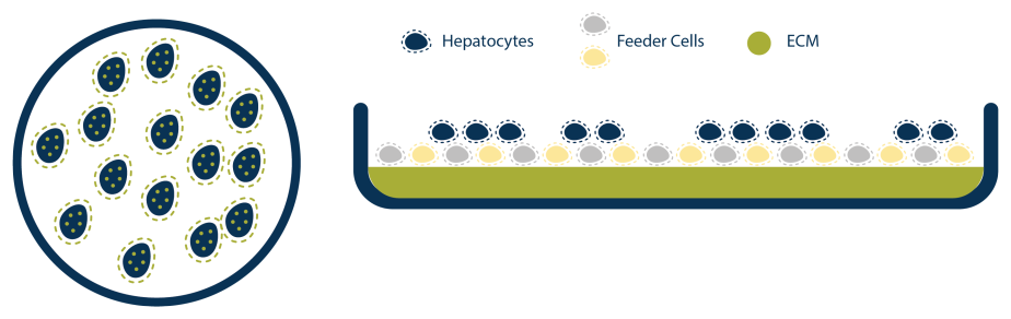 Schematic of LifeNet Health LifeSciences all-human Hepatic Tri-Culture system depicting the culture and self assembly of the cell populations into hepatocyte cords, representative of native tissue.